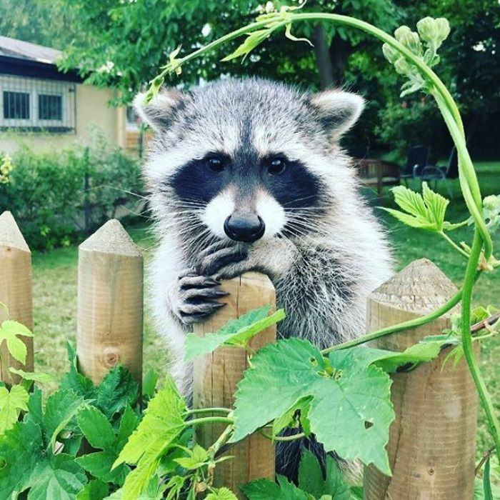 10+ Trash Panda Pics That Prove They're The Cutest Animal In The World