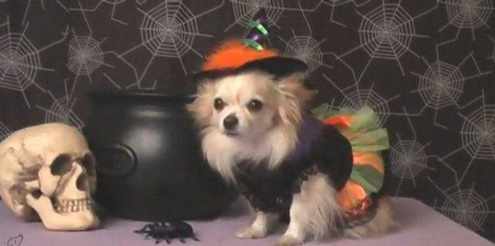 Este vídeo de perros disfrazados para Halloween te harán morir, pero de risa - http://viral.red/este-video-de-perros-disfrazados-para-halloween-te-haran-morir-pero-de-risa/