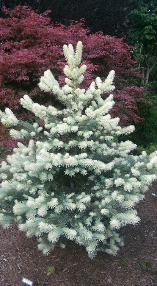 Picea pungens 'Spring Ghost'