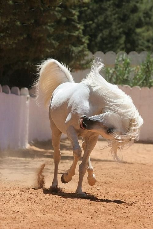 The Andalusian, also known as the Pure Spanish Horse or PRE (Pura Raza Española), is a horse breed from the Iberian Peninsula, where its ancestors have lived for thousands of years. The Andalusian has been recognized as an individual breed since the 15th century, and its conformation has changed very little over the centuries. Throughout history, it has been known for its prowess as a war horse, and was prized by the nobility. The breed was used as a tool of diplomacy by the Spanish…