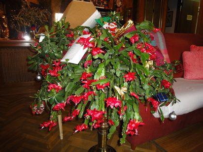 Cactus de Navidad y Pascua