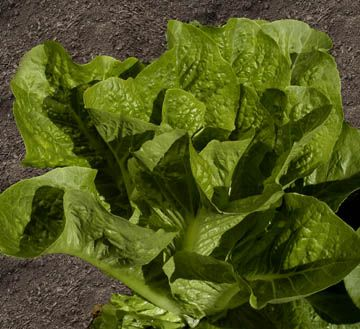 How To Grow Romaine Lettuce | homegardening101.com