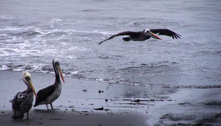 Pelicans. Valdivia, Chile. Photograph by Wayne Visser. Copyright 2010.