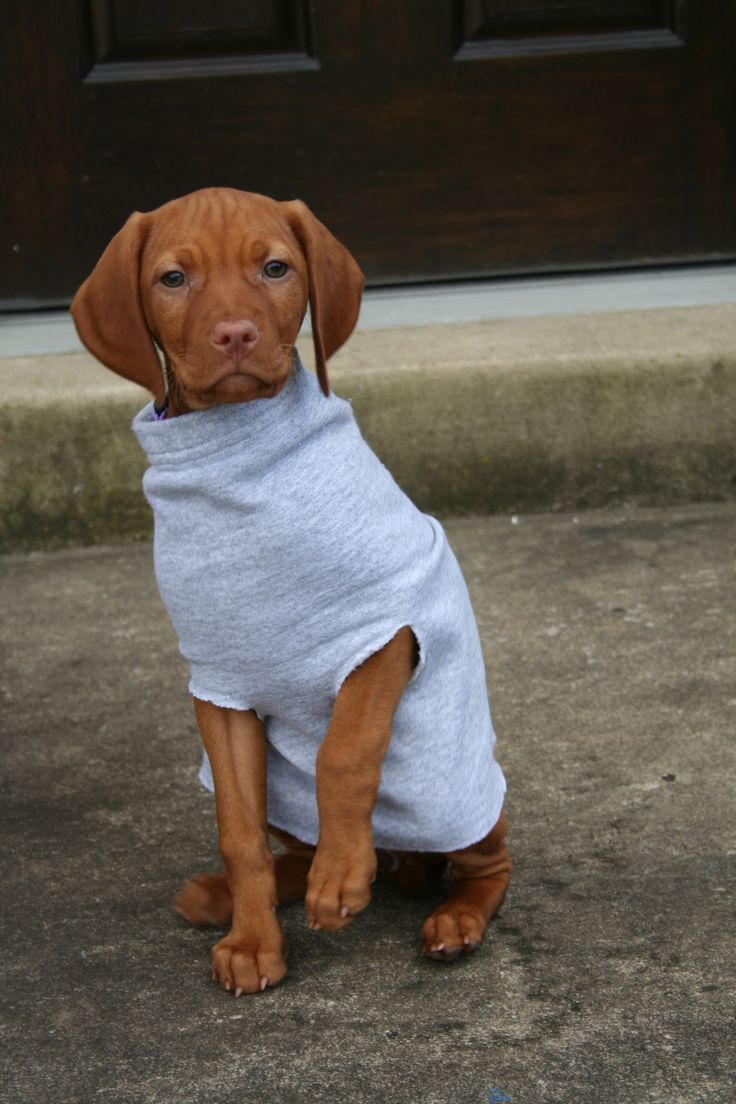 Looks like an old sweatshirt sleeve for a puppy jacket! Will try this! All vizslas must love wearing clothes, mine sure does