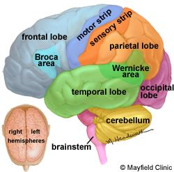 Brain anatomy info, anatomy of the human brain complete with illustrations and references.