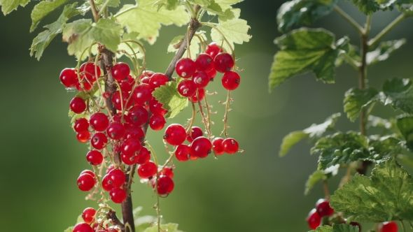 Red Currant Berries on a Clear Sunny Day. The Source of Vitamins