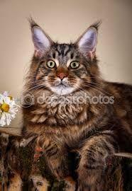 """Képtalálat a következőre: """"hosszú haju cicák"""""""