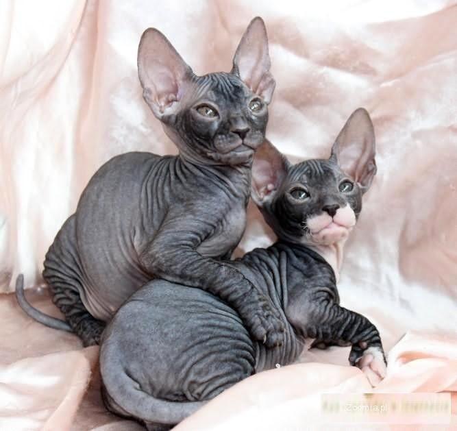 sfinks doński - kocięta