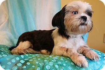 Southington, CT - Shih Tzu. Meet Kami, a dog for adoption. http://www.adoptapet.com/pet/16825009-southington-connecticut-shih-tzu