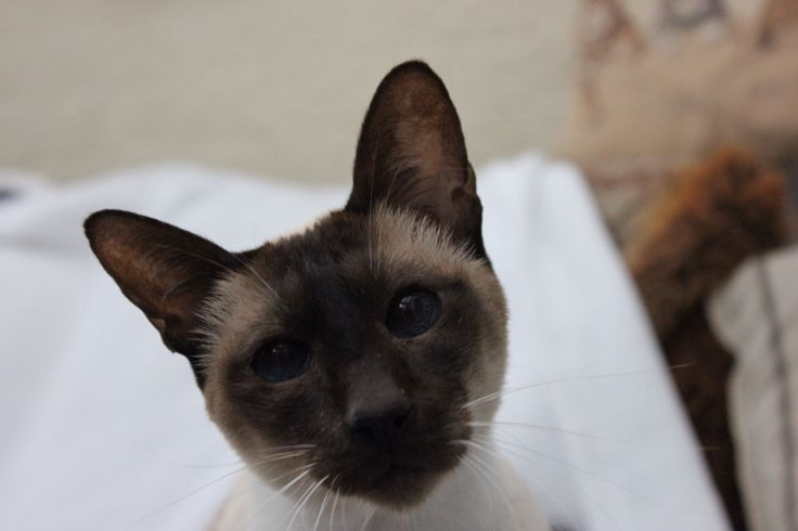 Garfy chocolate point Siamese
