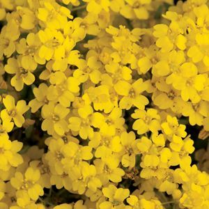 Basket of Gold is one of the most popular of spring-flowering #perennials, most often seen in rock #gardens or as a border edging. Basket of Gold is a drought tolerant, #evergreen groundcover that prefers full sun. It forms a low bushy mound of grey-green leaves, smothered by masses of tiny, bright golden-yellow #flowers for several weeks. After bloom, the #silver green foliage makes a wonderful groundcover all season long and into the winter!