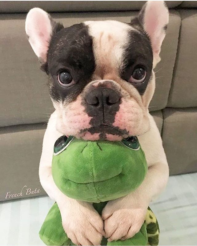 Can I have this frog please? Follow @mycutestfrenchie for more Tag your friends by @french_buta Tag #mycutestfrenchie in your posts for chance to be featured! . . . . . . #フレンチブルドッグ #bulldogsofig #bulldog #bully #frenchiepup #bullygram #frenchielove_feature #french_bulldogs #frenchbulldogs #frenchiestagram #bullylifetv #frenchbulldoglife #bulldoglovers #adorabull #frenchiesofig #bullys #bulldogloversofinsta #bullypics #frenchie #frenchbulldog #frenchiesoverload #französischebulldogge…