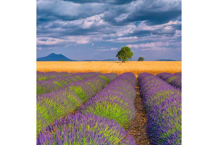 lavendar-wheat-provence