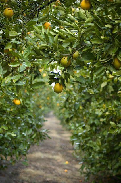 Lemon orchard. I miss the smell of citrus. I miss walking ...