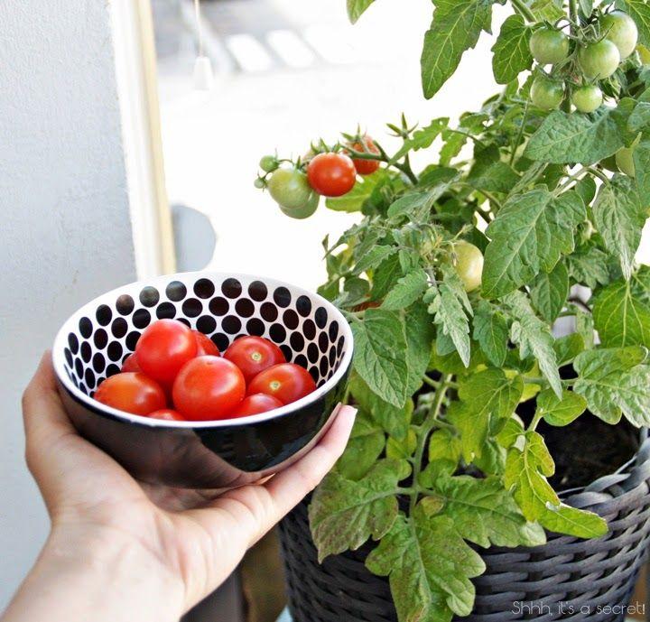 Fresh Tomatoes from Balcony - Shhh, it's a secret!