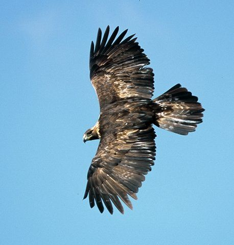 Soaring Golden Eagle 101 best images about ...