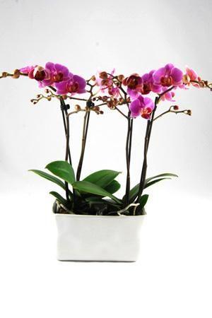 Orchidee Phalaenopsis Luzern in gedeukt 'Crushed' keramiek. Rechthoekig keramiek met paarse orchideeën; 4 takken en minimaal 35 bloemen.