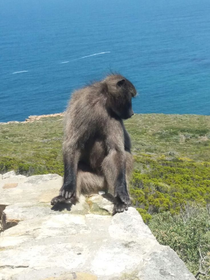 Baboon, Cape Point Cape Of GoodHope, Cape Town ,South Africa
