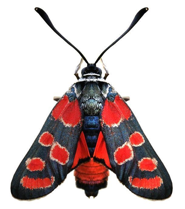 1000+ images about Moths on Pinterest