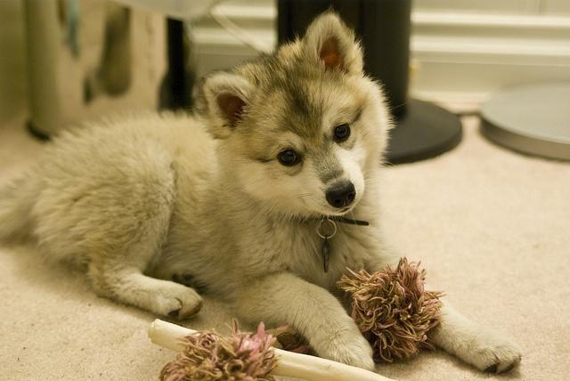 Best 25+ Pomeranian husky full grown ideas on Pinterest ...