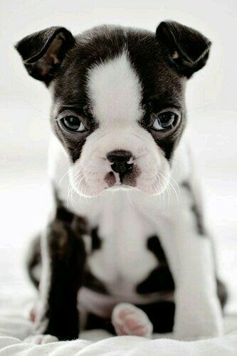 Black and white Puppy dog