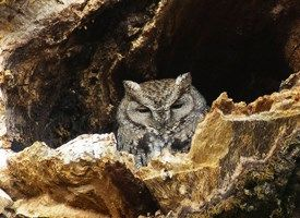Learn how to identify Western Screech-Owl, its life history, cool facts, sounds and calls, and watch videos. A common small owl of the West, the Western Screech-Owl can be found in urban as well as wild lands.