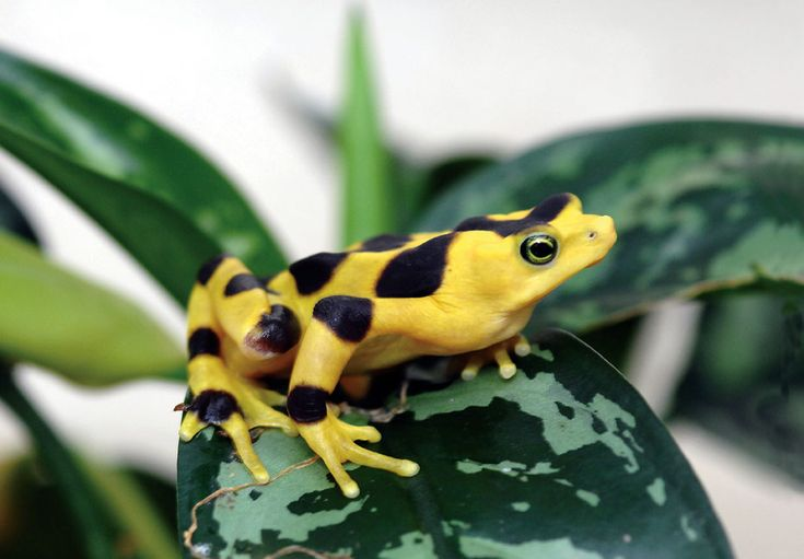 Panamanian Golden Frogs Now On Exhibit   The Maryland Zoo in Baltimore