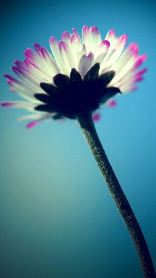Daisy in the sky #iphone #wallpaper