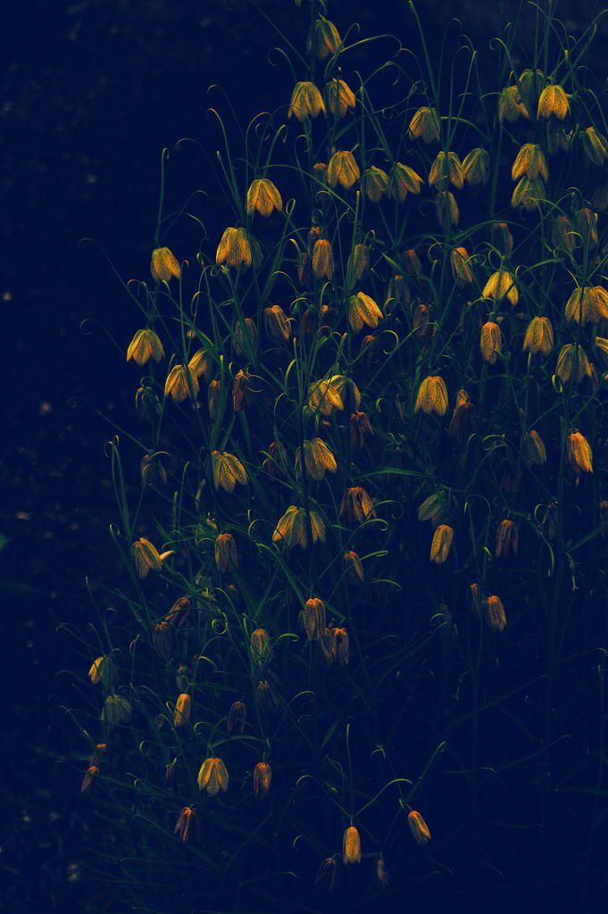Spring   Van Lieshout VI 2015 > #flowers #Fritillaria #digital art #photography