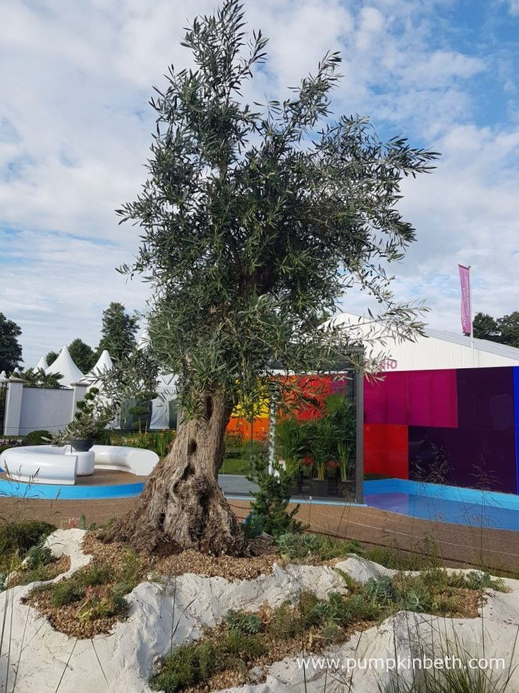 A closer look at the beautiful olive tree in the Journey of Life Show Garden. The Journey of Life was designed by Edward Mairis, for the RHS Hampton Court Palace Flower Show 2017. The RHS judges awarded this Show Garden a Bronze Medal.
