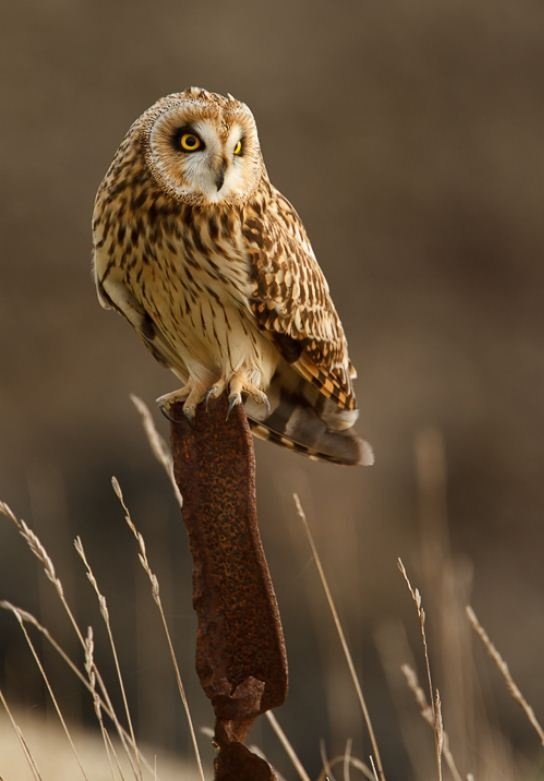 Short eared owls on 16.2.13 at Silverwood Lagoon