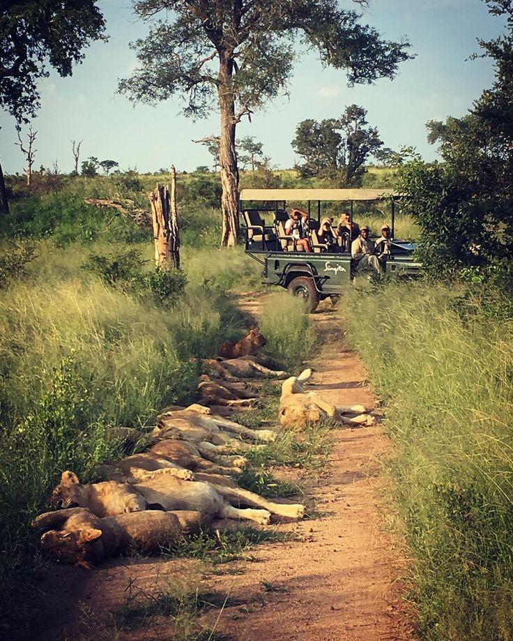 Nice marketing photo.. .  .  .  .  .  #oursingita #singita_ #africanamazing #safari #southafrica #sabisands #wildlife #wildlifephotography #natgeo #naturelovers #nature #wilderness #wildernessculture #iphonese #picoftheday #photooftheday #catsofinstagram #bigcatsofinstagram #lions #lioncub #pride