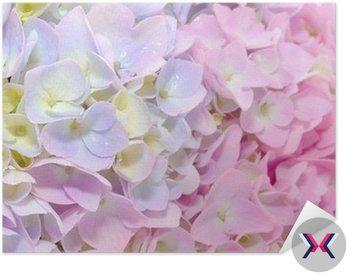Plakát Pixerstick Krásné fialové a růžové hortenzie květiny close-up