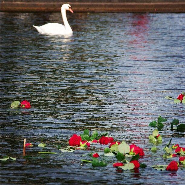 In honor of those woman and children who died. #schwedtsee #ravensbruck #consentrationcamp #woman #holocaust #worldwar2 #hvitebusser #polentur2012 #mecklenburg #germany #deutschland #pentax #pentaxk20d #roses #redroses #swan #whiteswan