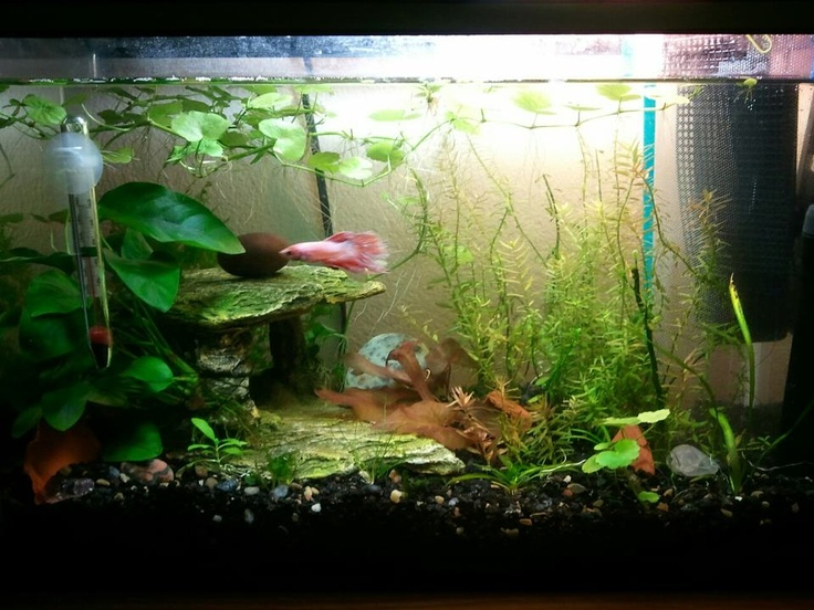 Best 25 betta aquarium ideas on pinterest betta tank for Fish tank care