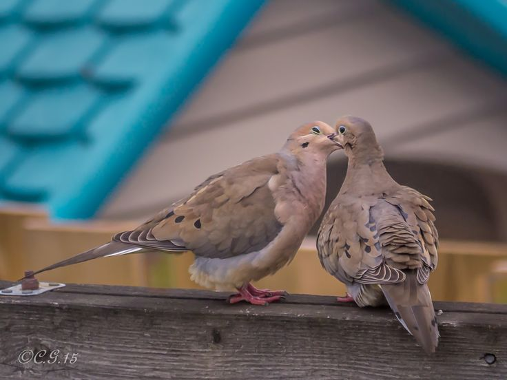 Moaning Doves