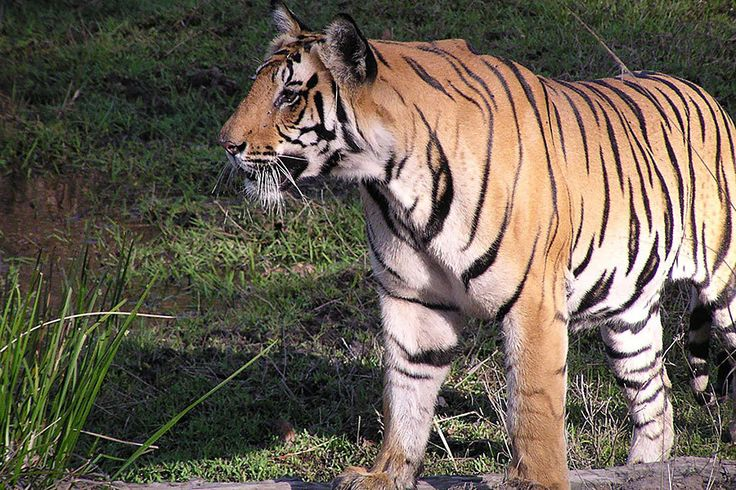 Satellite data is proving a useful tool for protecting tiger habitat and could not only help double wild tiger populations by 2022 but also lay the groundwork for helping other vulnerable species, too.