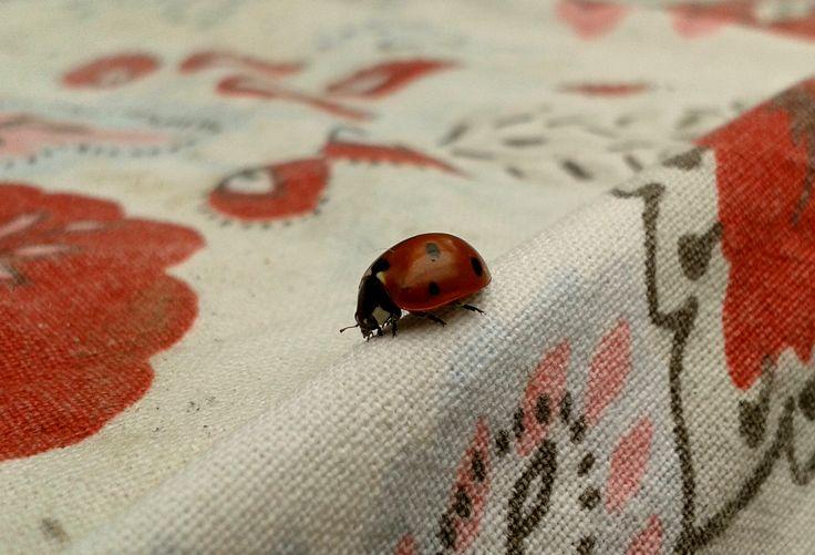 Katicabogár. Lady bug.