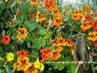 Plantas y flores: Tropaeolum majus