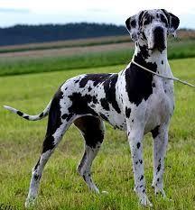 Výsledek obrázku pro německá doga