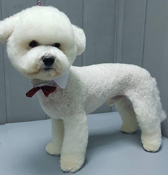 Pin By Frenchkiss On Dog Haircuts Bichon Frise Bichon Frise Puppy Bichon