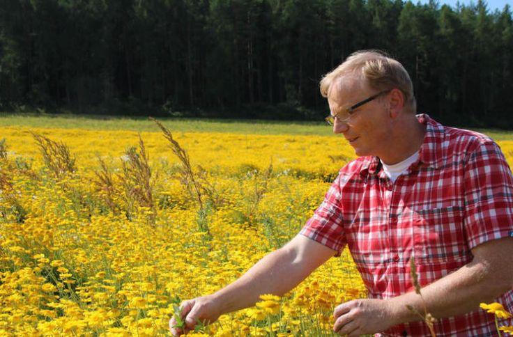 Roland Dömling steht in seinem Feld mit Färbekamille bei Burghausen. Zehn Sorten Wildblumen baut er zur Samenvermehrung an.  Fotos: Thomas Malz
