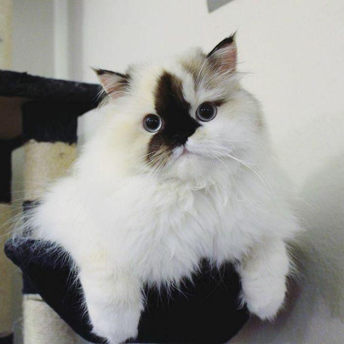 Smudge le charmant chaton himalayen au nez coloré  2Tout2Rien