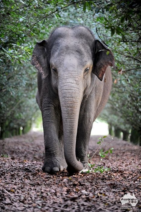 Siam, the oldest Asian elephant (58) that was kept in captivity at the Australian Zoo