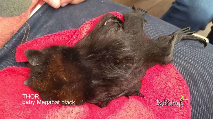 #babybat #orphaned #rescued in care #megabat black male #flyingfox #frui...