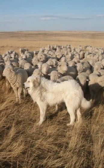 Great Pyrenees Guarding Sheep. Two loves--big dog and fiber farm.