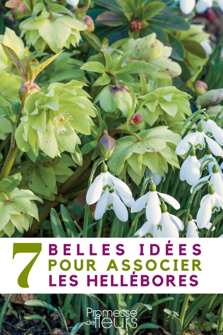 Découvrez nos meilleures idées pour associer l'hellebore ou Rose de Noël au jardin ! #jardin #idéejardin