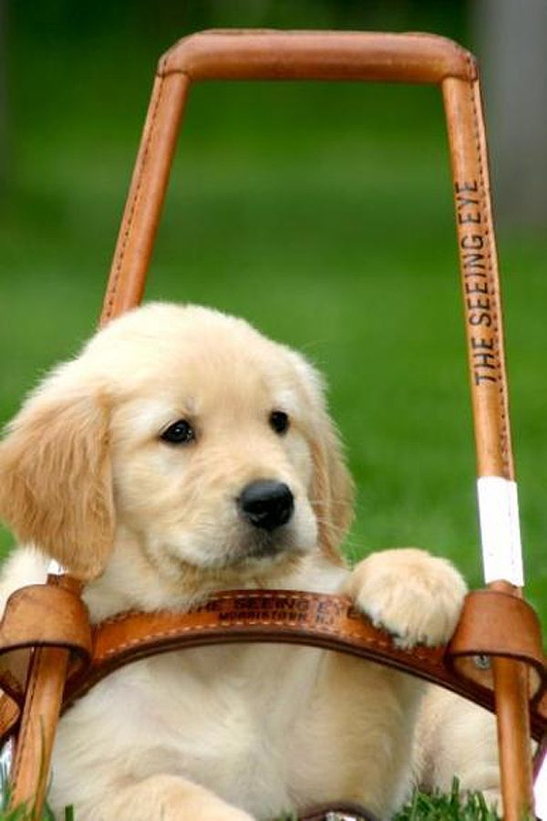 21 Best Super Cute Guide Dogs Images On Pinterest
