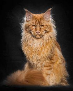 Trop beau ! Ce photographe a su capter la majesté des chats de race « Main coon…