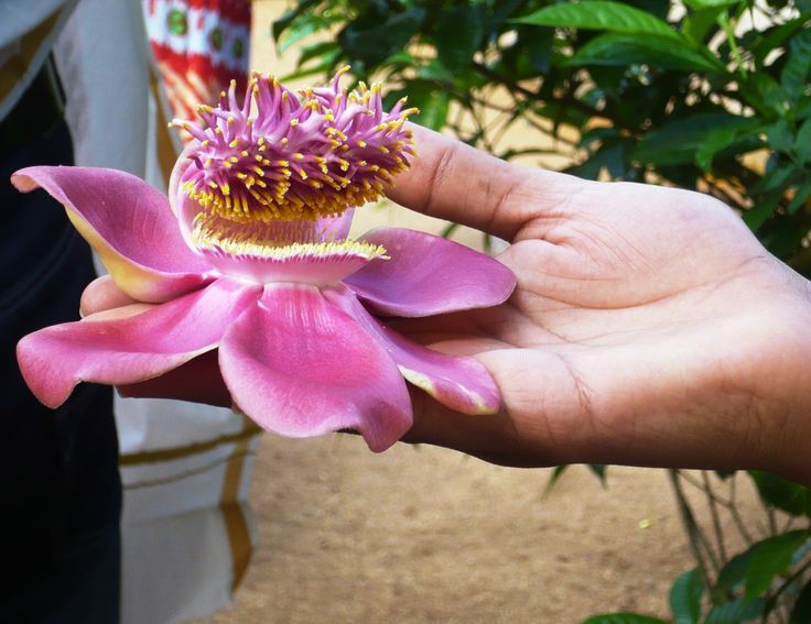 These flowers only grow near Temples and holy places in India